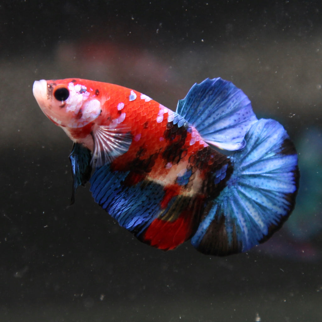 PREMIUM Blue Galaxy Red/Orange Tiger Koi HMPK