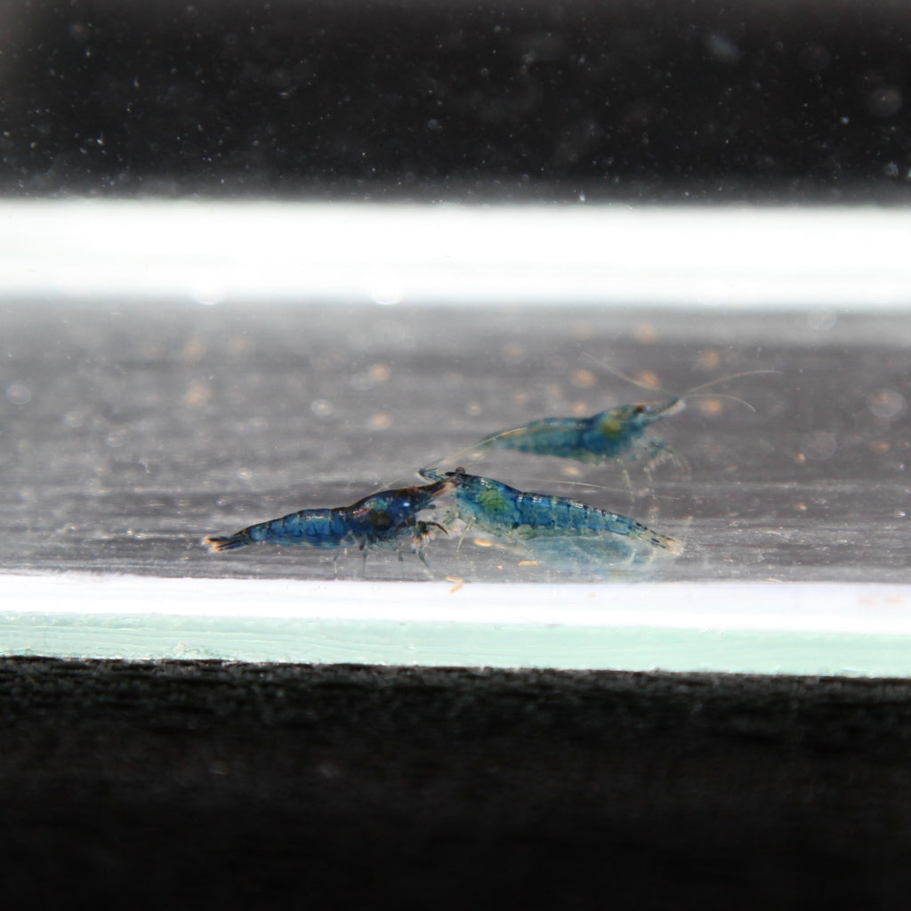 Blue Dream Shrimp