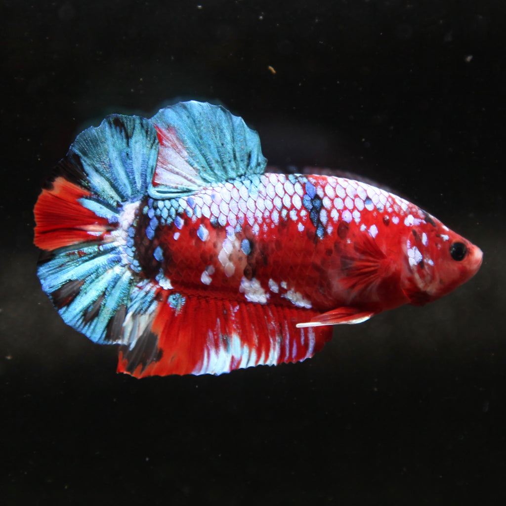 PREMIUM GIANT Blue Galaxy Red Koi HMPK