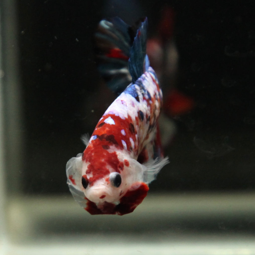 PREMIUM GIANT Blue Galaxy Koi HMPK