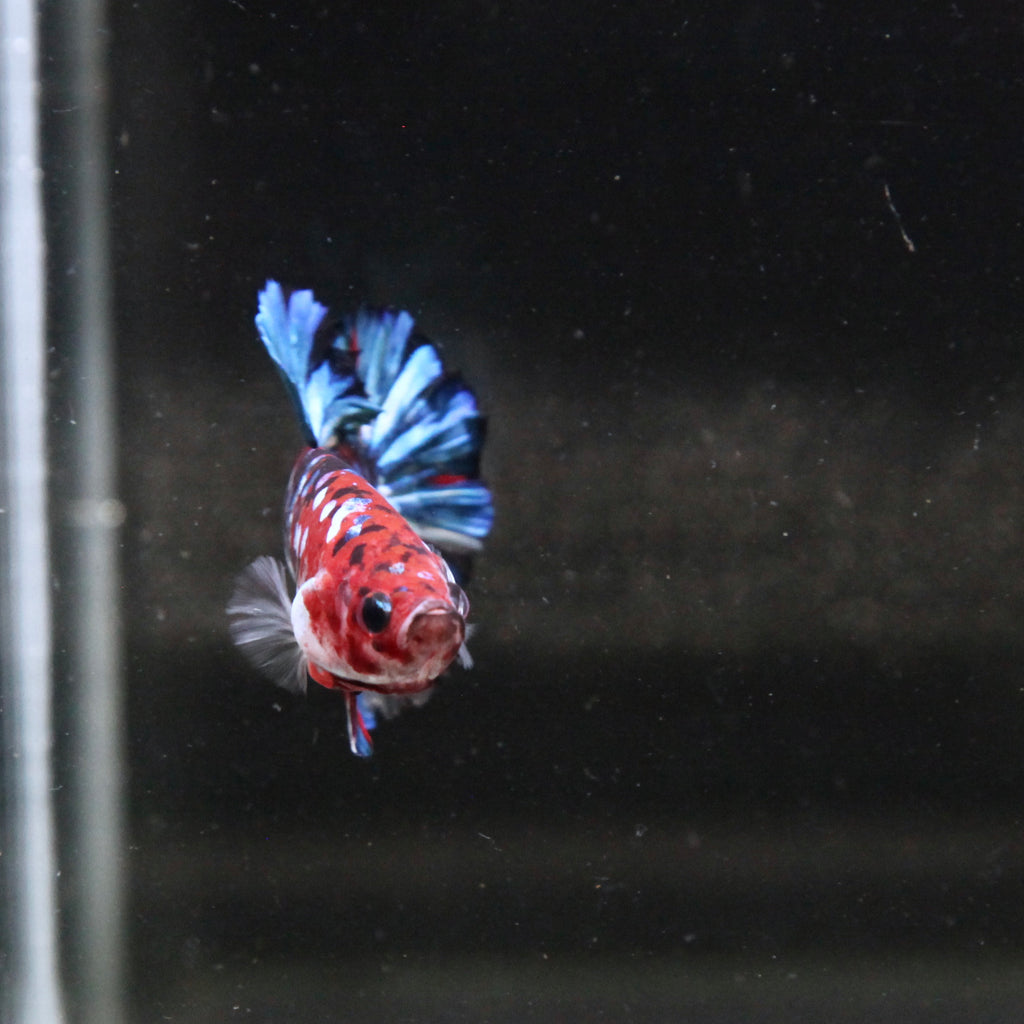 PREMIUM GIANT Blue Galaxy Tiger Koi HMPK