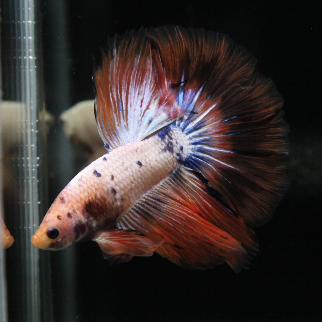 Orange Marble Halfmoon
