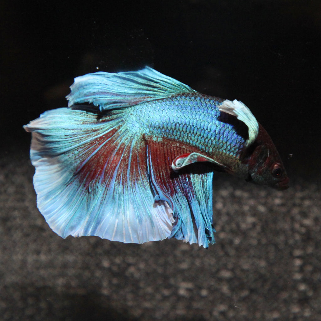 Blue/Green Dumbo Halfmoon