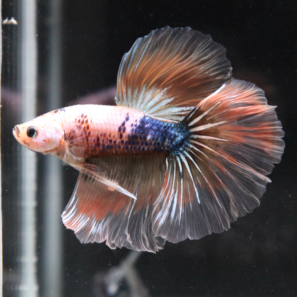 Orange Marble Halfmoon Boy