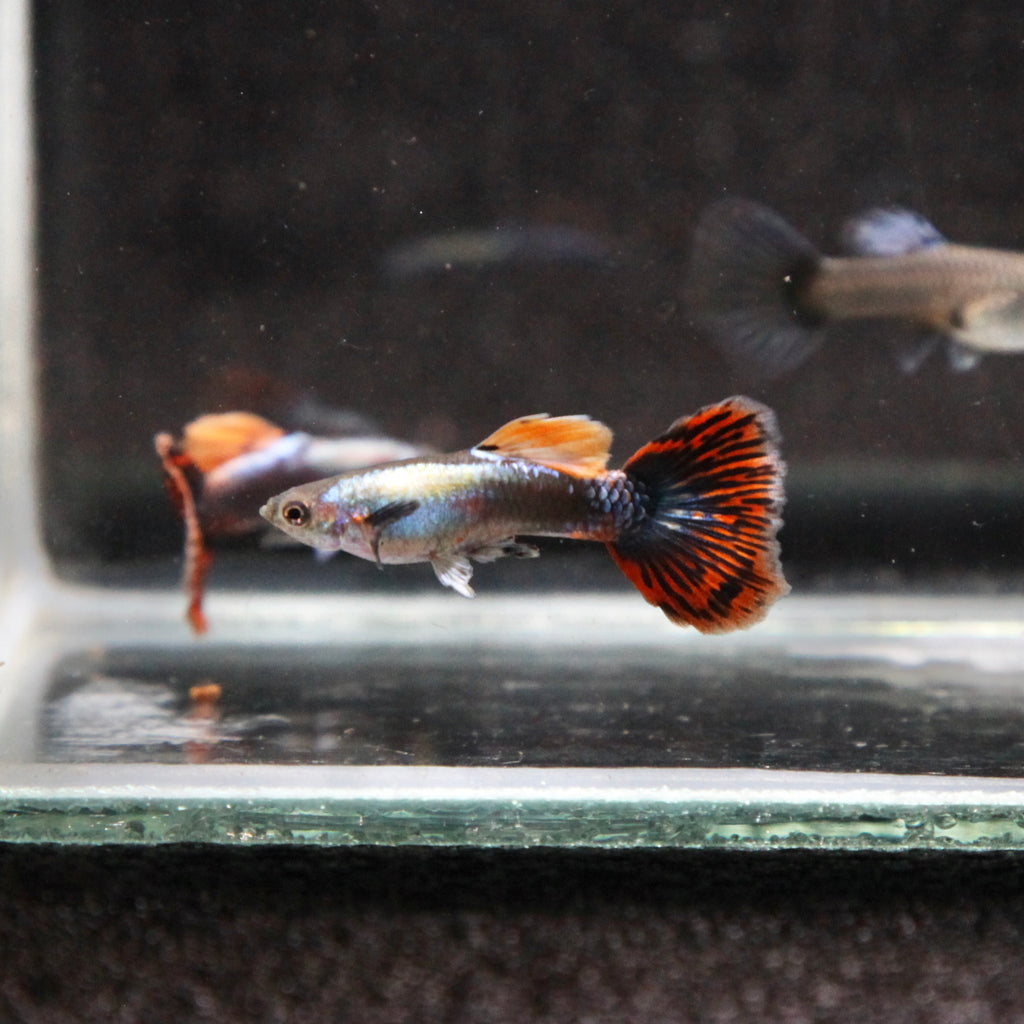 Platinum Dumbo Red Mosaic Guppy (TRIO)