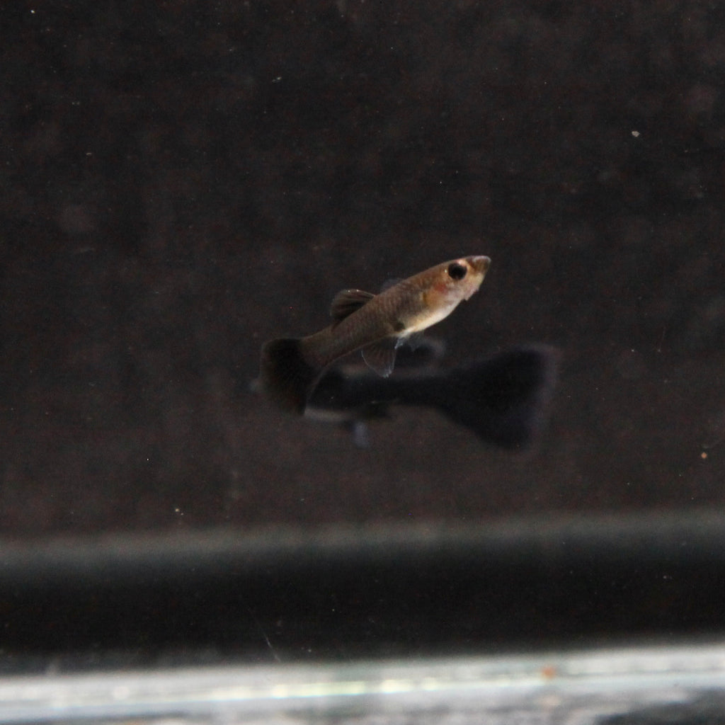 Black Moscow Guppy (TRIO)