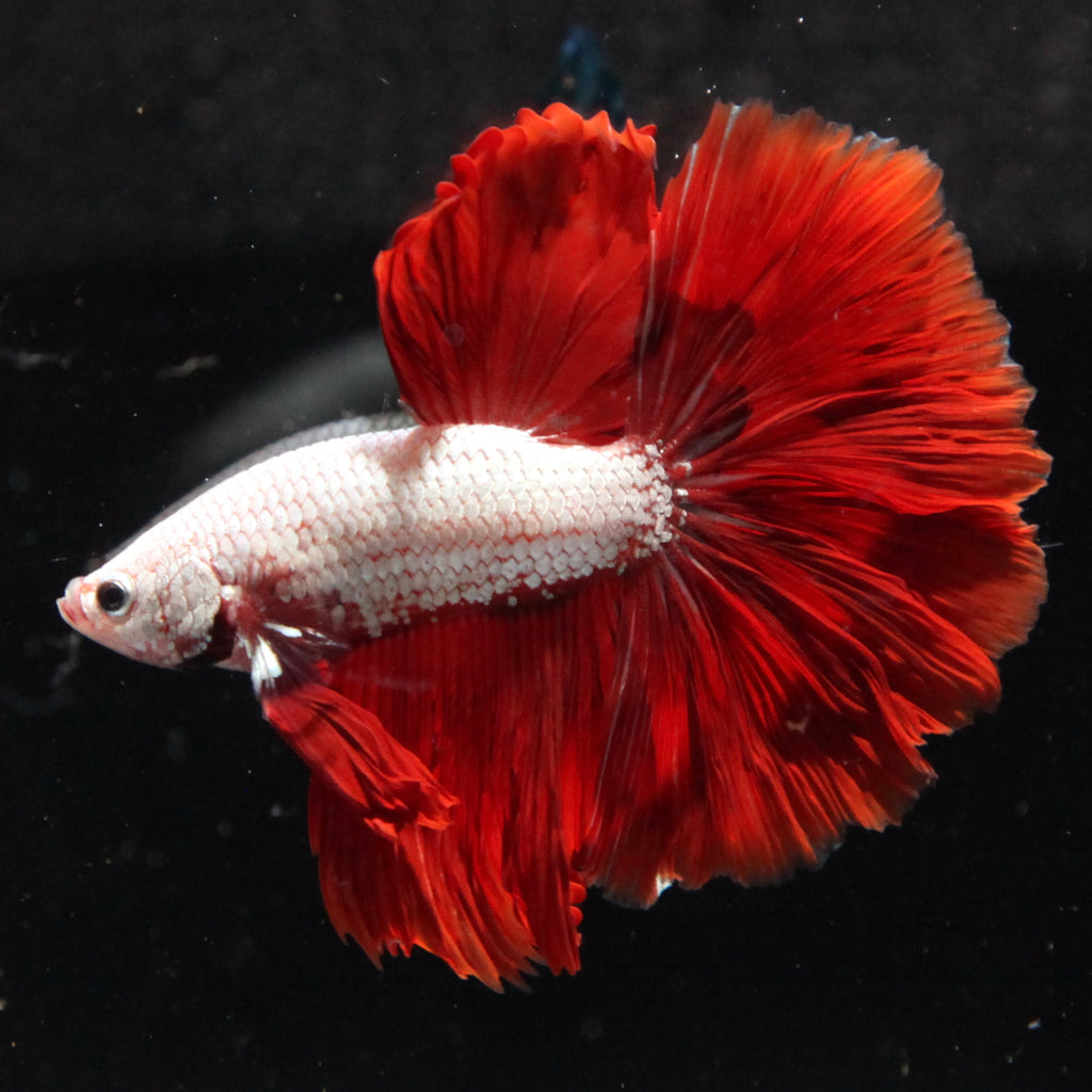 Red Dragon Halfmoon