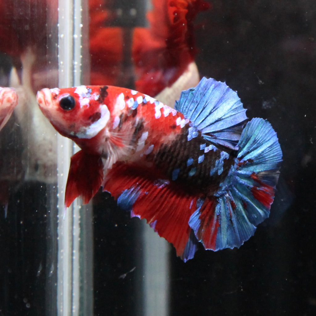 Blue/Red Koi HMPK