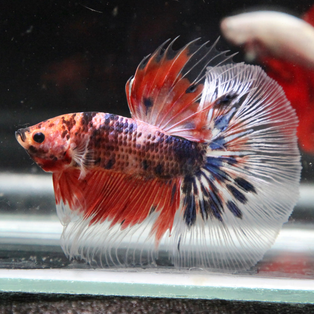 Fancy Cellophane Marble Halfmoon