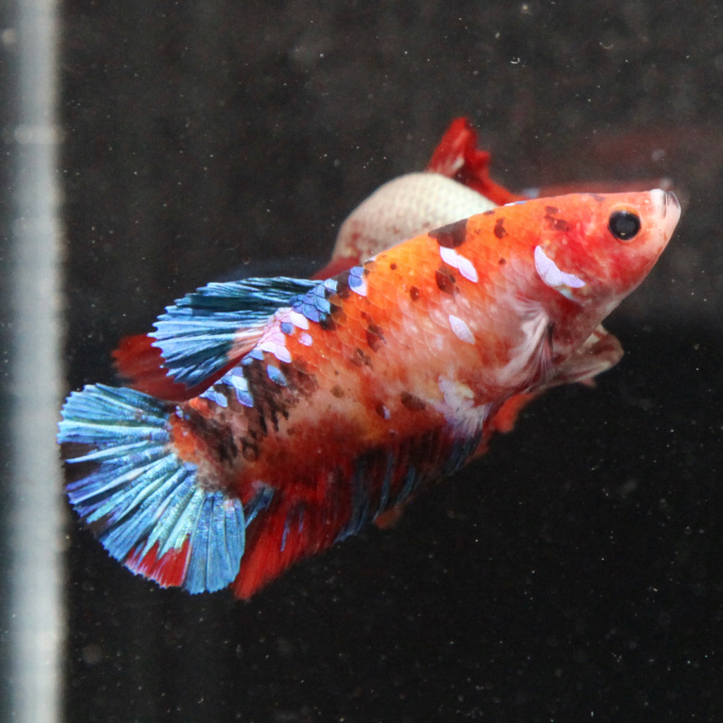 PREMIUM GIANT Orange Koi HMPK