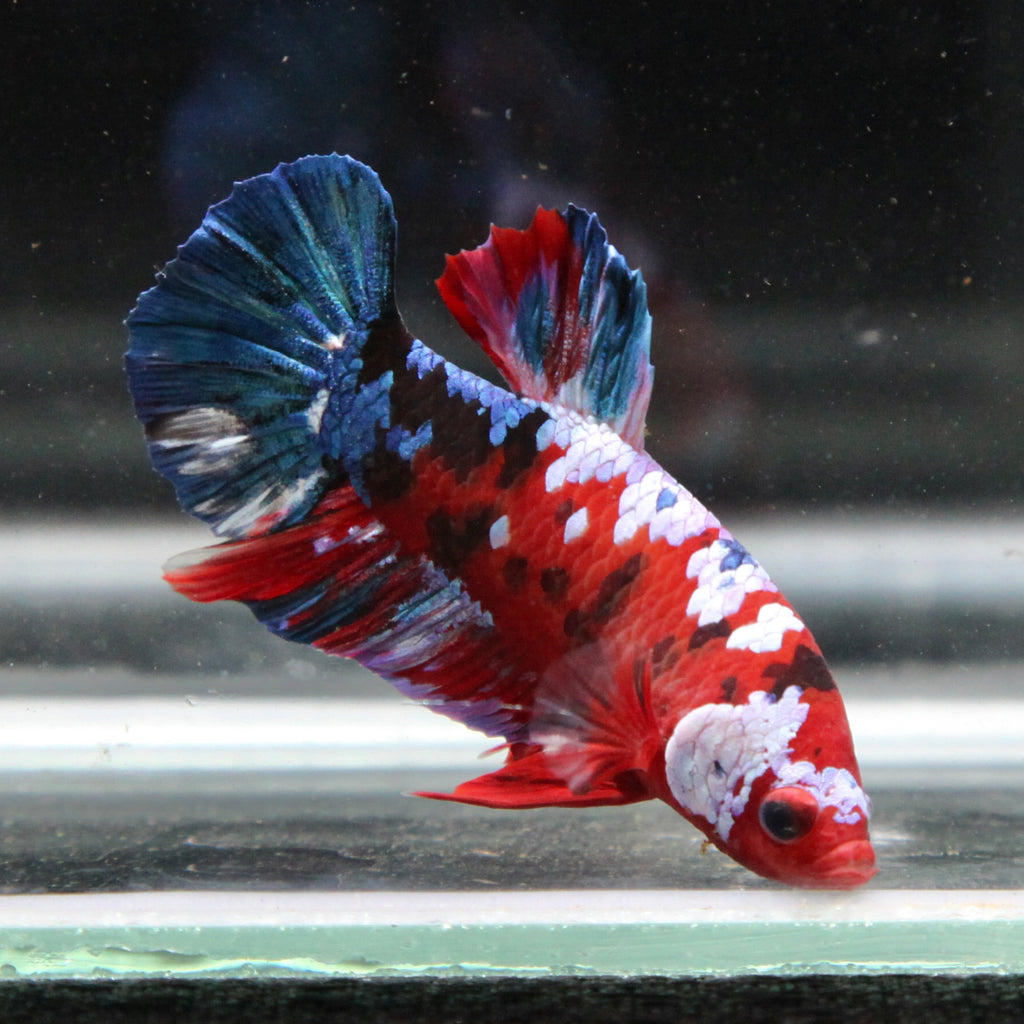 Half-Giant Blue/Red Koi Galaxy HMPK