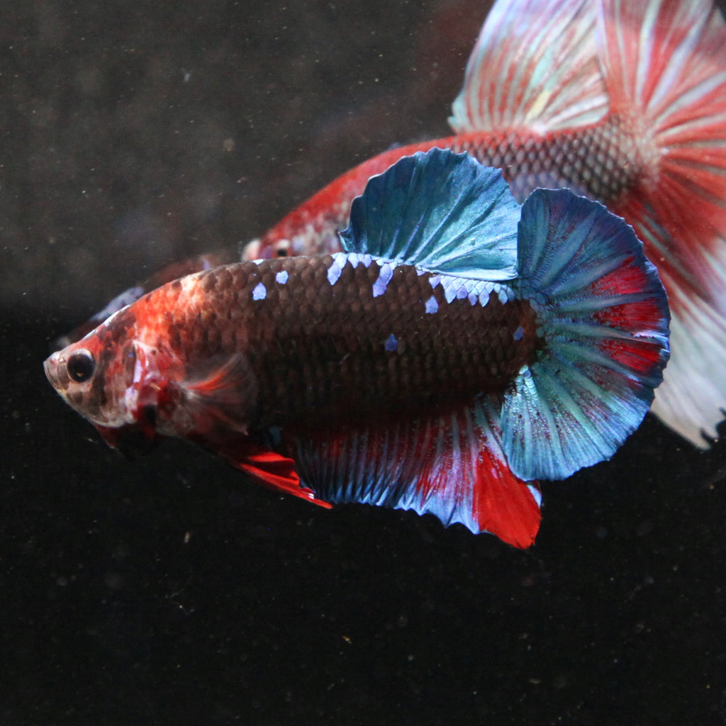 Half-Giant Black Galaxy Koi HMPK
