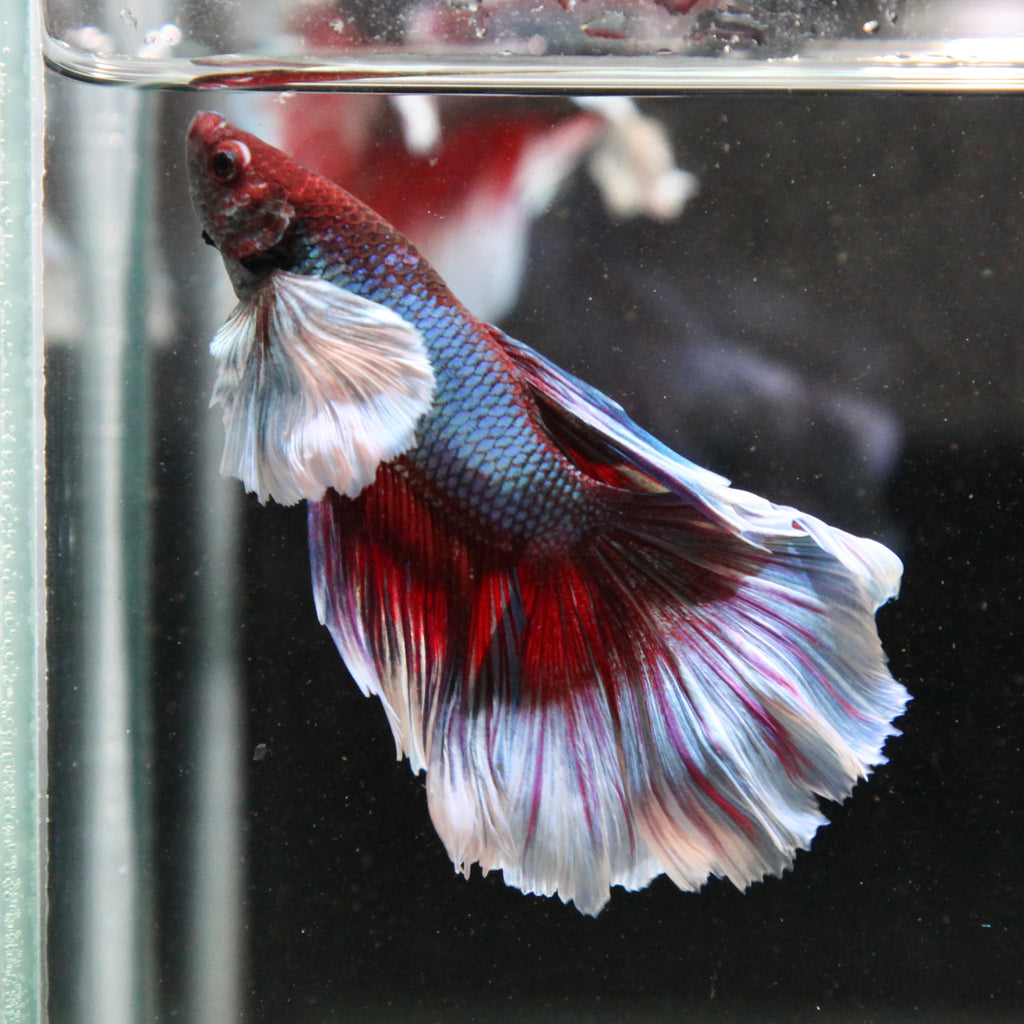 PREMIUM Multi-Color Dumbo Halfmoon