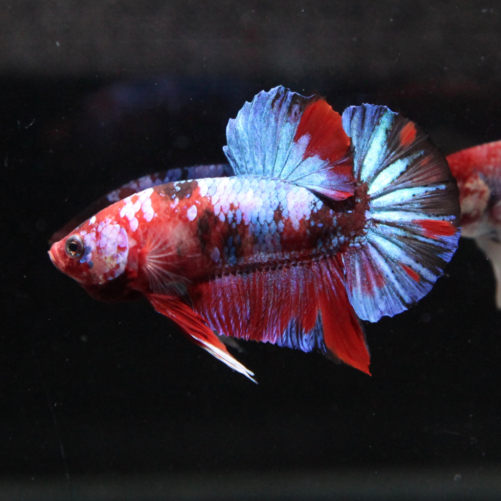 Blue/Red Galaxy Koi HMPK