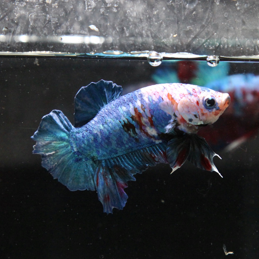 Blue Galaxy Koi HMPK