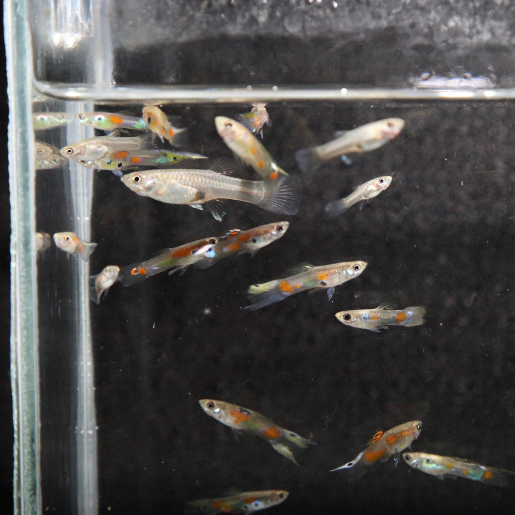 Hybrid Endler's Guppy (TRIO)