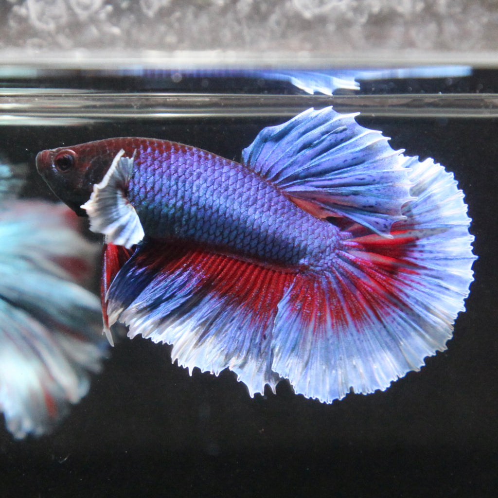 Blue/Red Dumbo Halfmoon