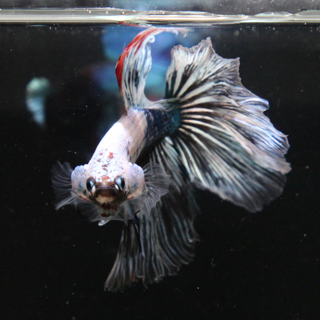 White/Blue Fancy Marble Halfmoon