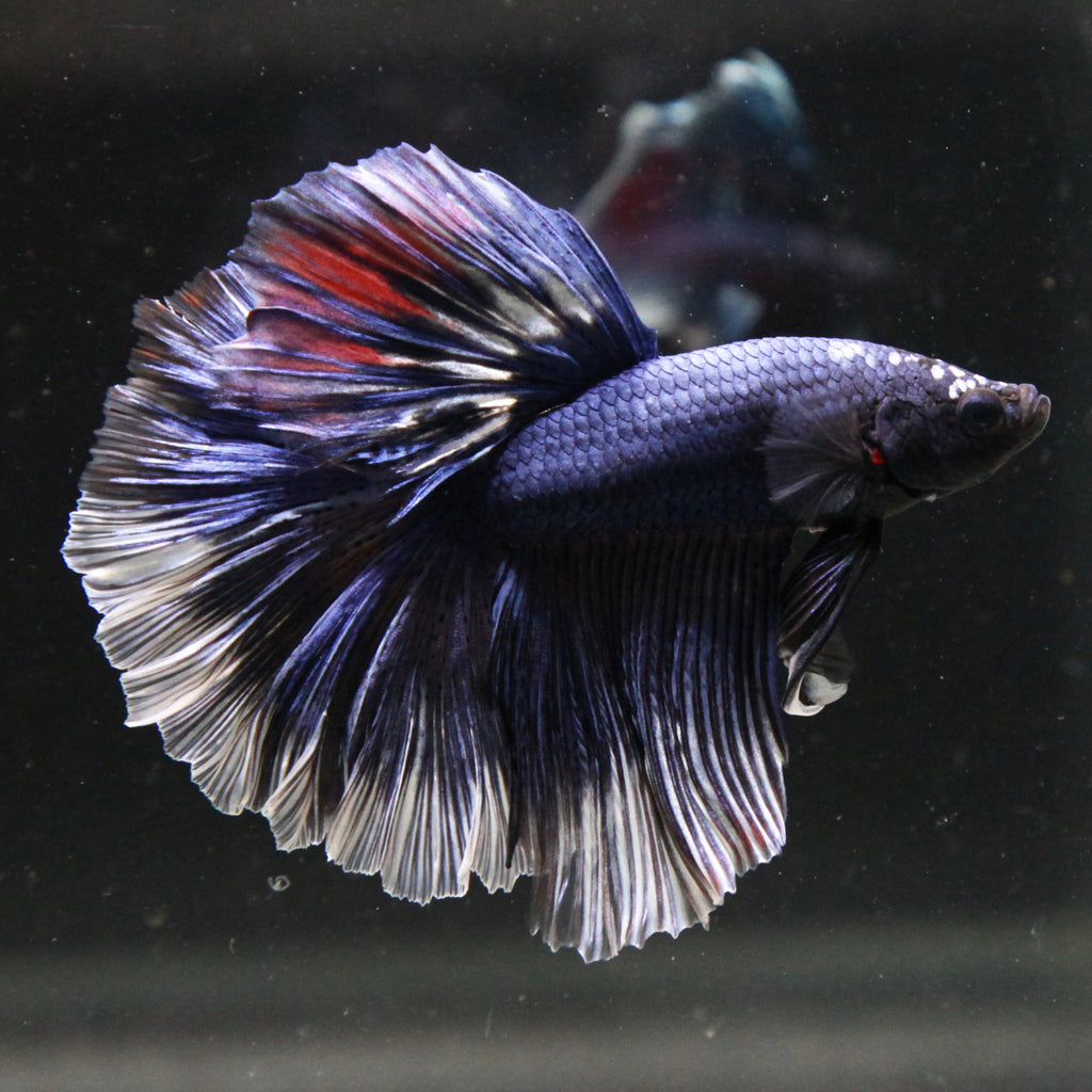 Fancy Blue Marble Halfmoon