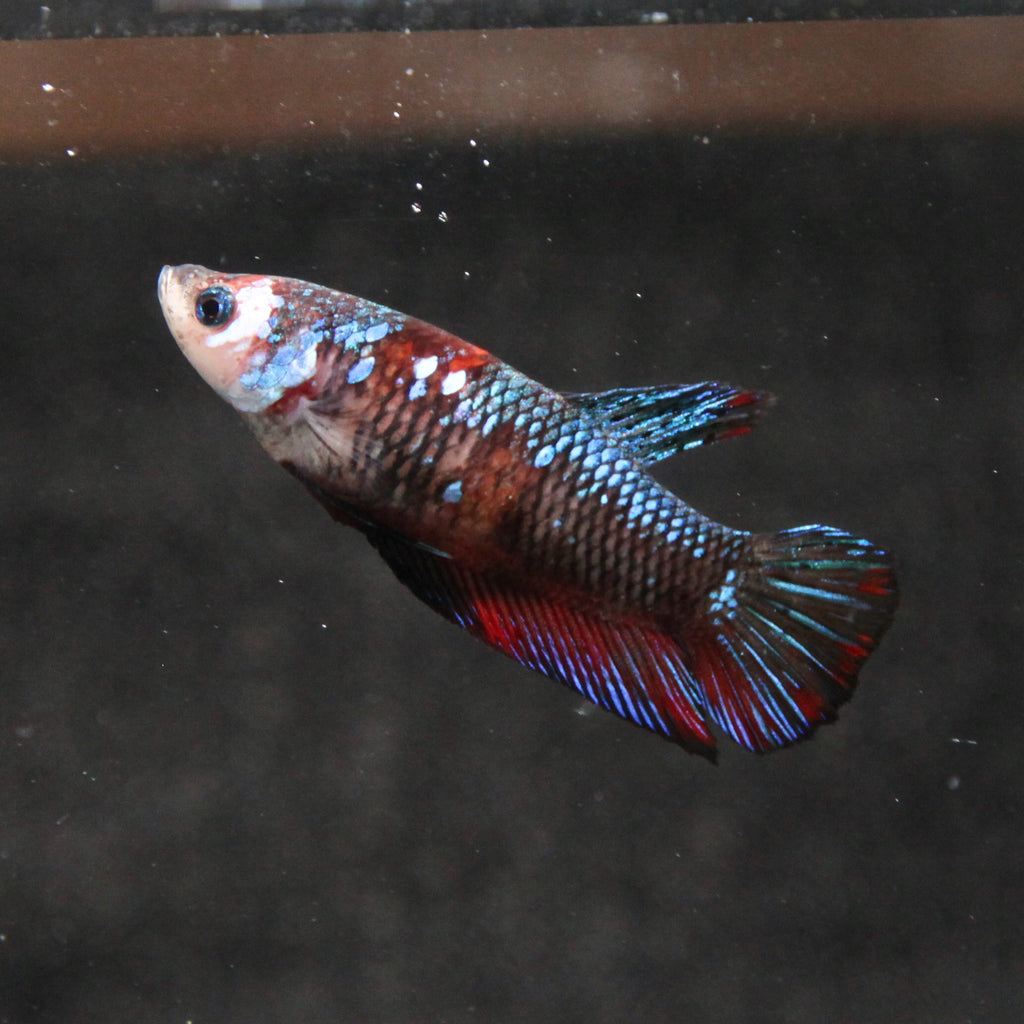 Black Galaxy Koi HMPK