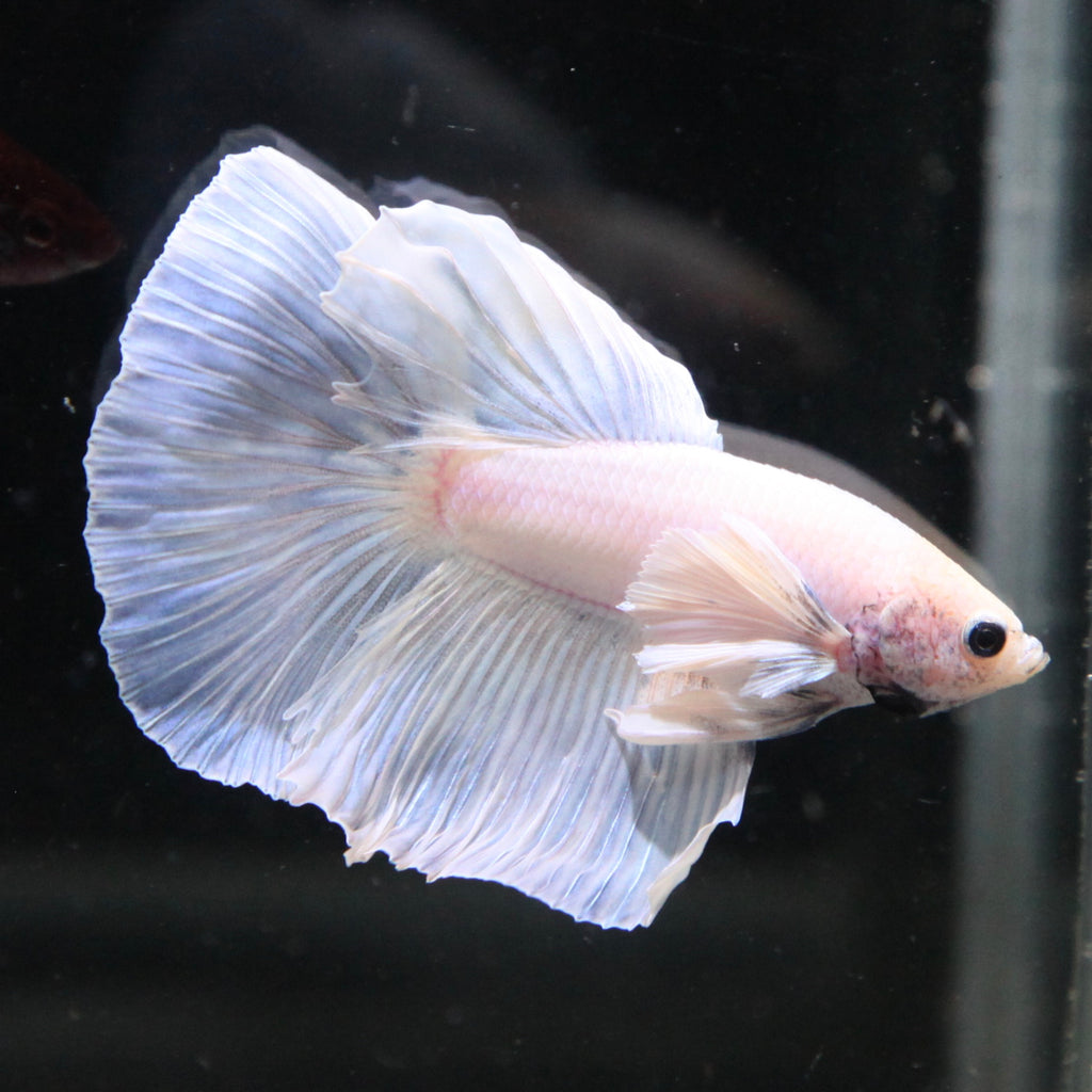Iridescent Blue/White Dumbo Halfmoon