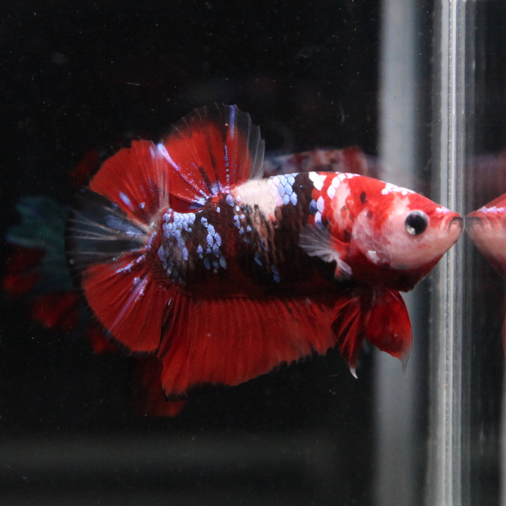 Red Koi Galaxy HMPK