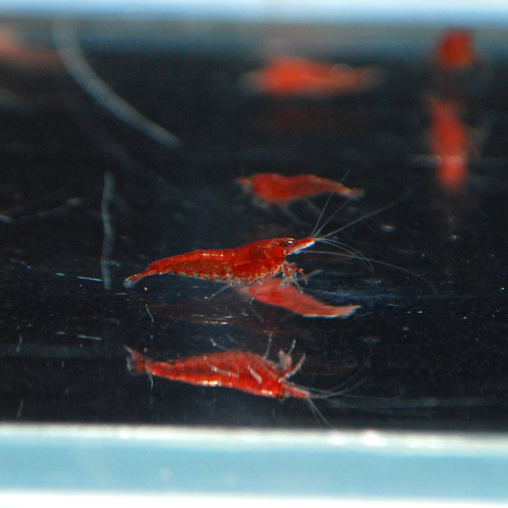 Sakura Red Shrimp