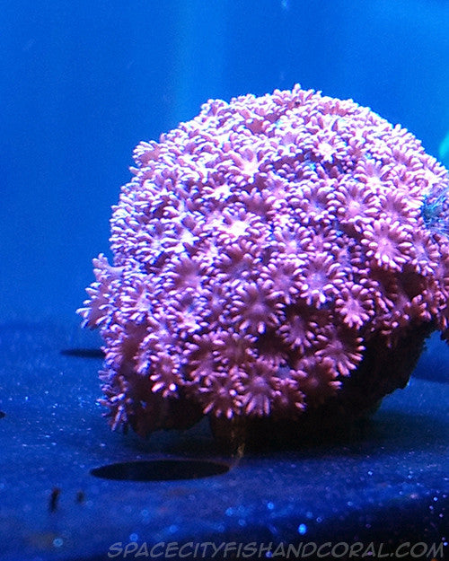 Pink flower pot 100 space city fish and coral llc pink flower pot 100 mightylinksfo