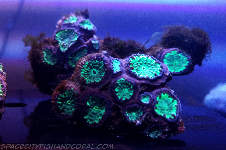 Neon Green Blastomussa - $16