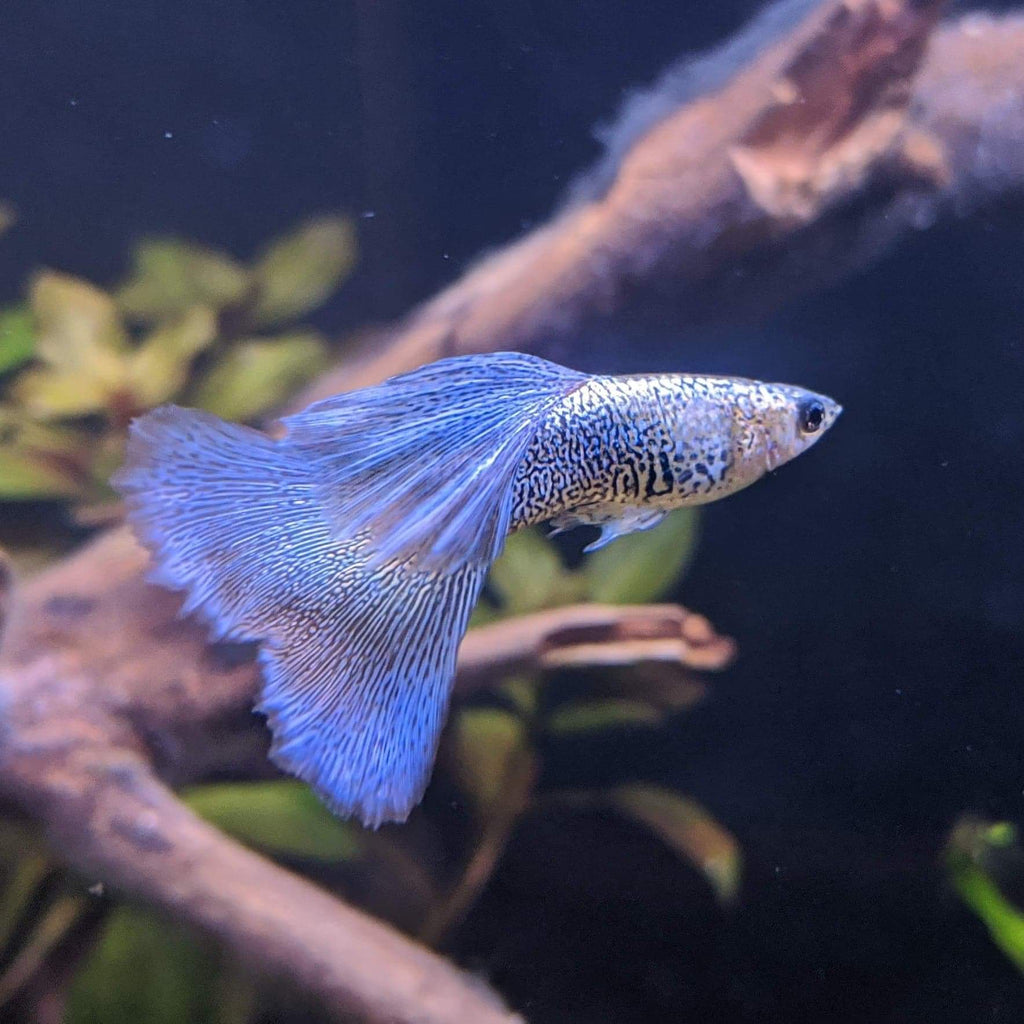 Lace Snakeskin Guppy (PAIR)