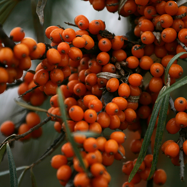 My Cayman Wonder Nutrients - Sea Buckthorn