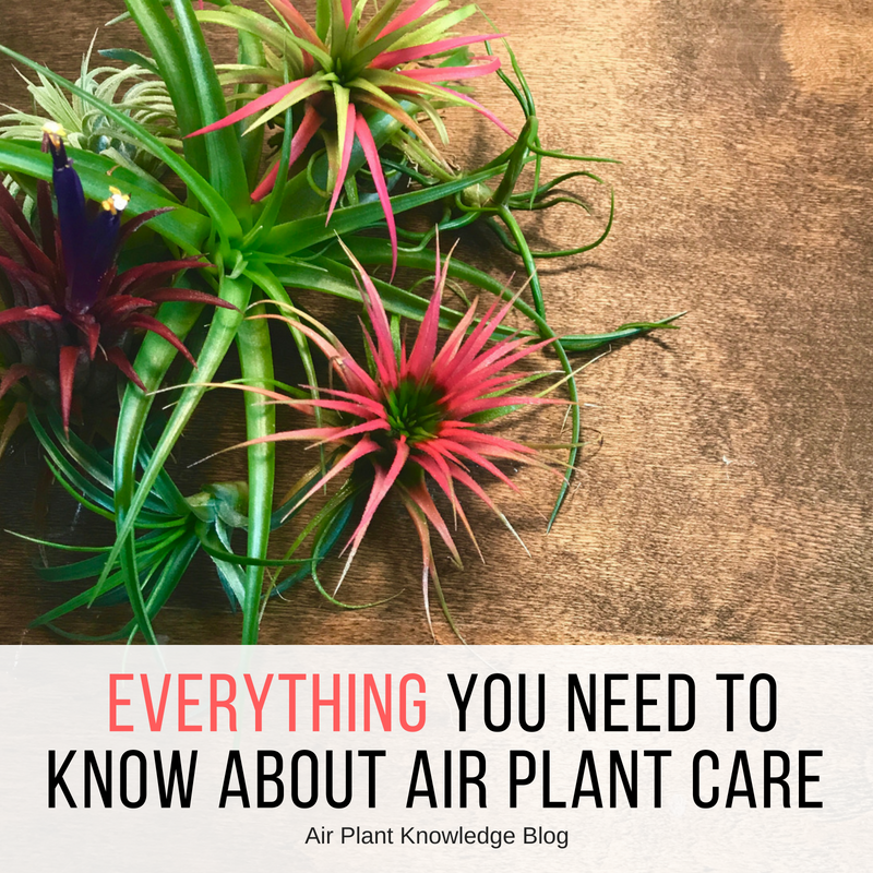 Everything You Need To Know About Air Plant Care