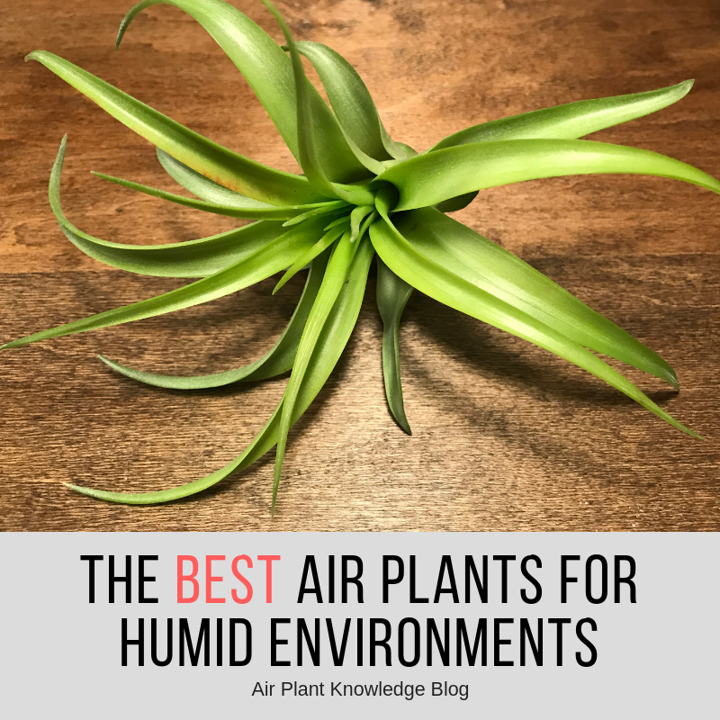 The Best Air Plants For Humid Environments