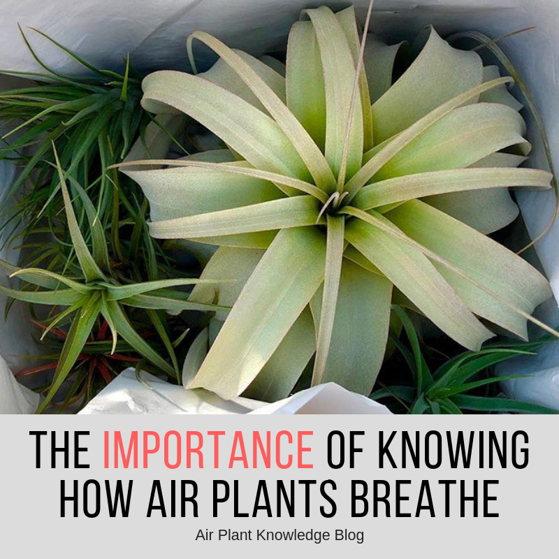 The Importance Of Knowing How Air Plants Breathe