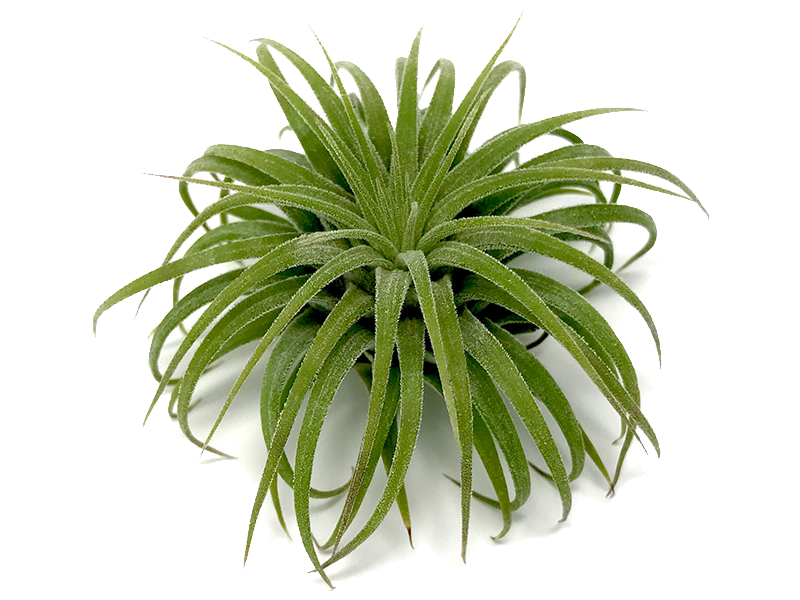 Shop All Air Plants