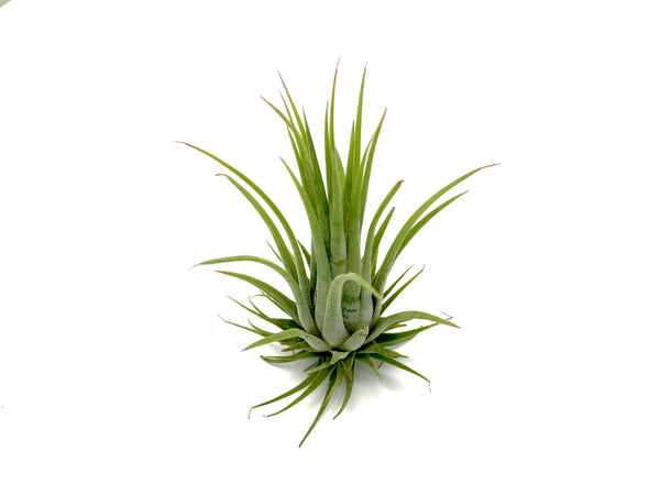 Wholesale Ionantha Rubra <br> (Minimum Order 10) - Air Plant Hub