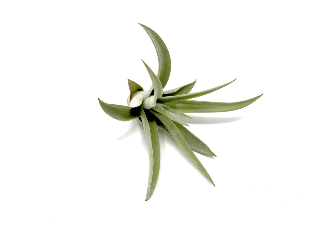 Harrisii - Air Plant Hub