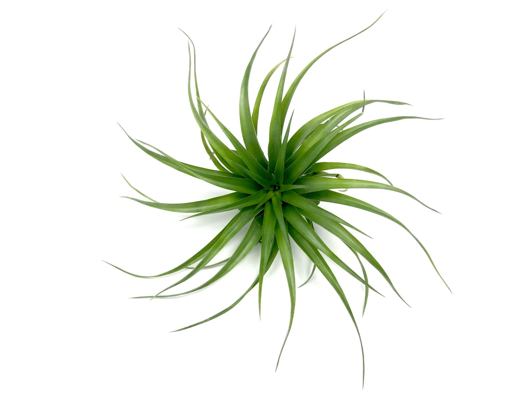 Stricta Green <br> (Not Currently In Bloom) - Air Plant Hub