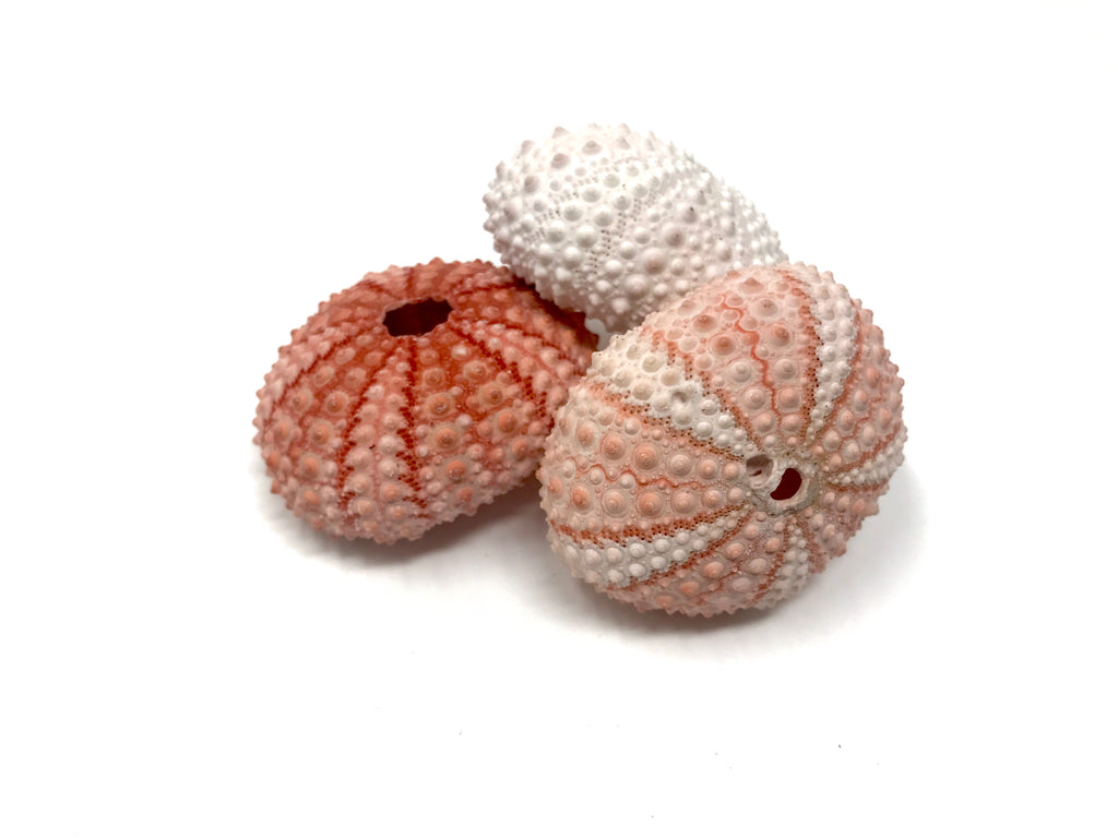 Air Plant & Sea Urchin Shell Combo - Air Plant Hub