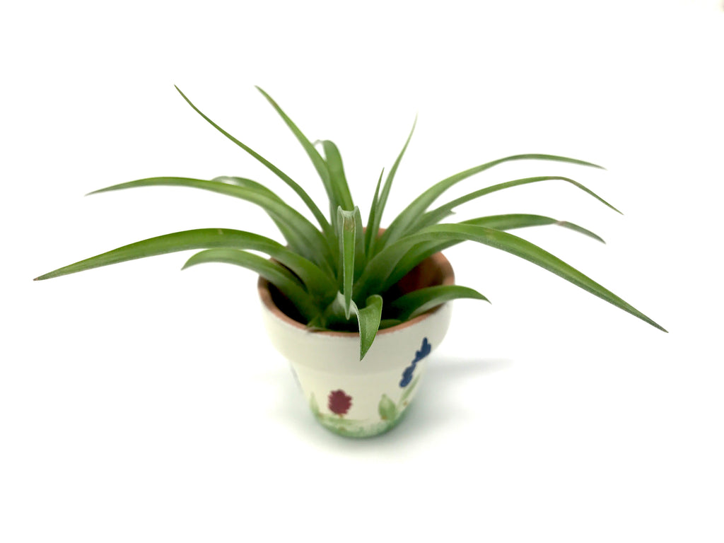 Small Hand Painted Terra Cotta Pot With Brachycaulos - Air Plant Hub