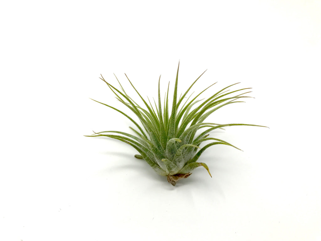 Ionantha Guatemala <br> Large Size In Bloom! - Air Plant Hub