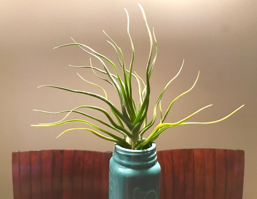 'Showtime' <br> (T. bulbosa X T. streptophylla) - Air Plant Hub
