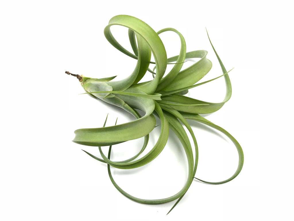 Twisted Tim <br> (Intermedia x Capitata) - Air Plant Hub