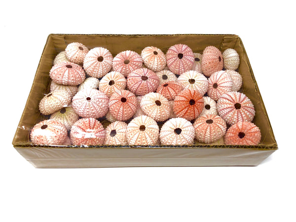 "Bulk Lot of 100+ Sea Urchin Shells (1.5"" - 2"") $0.50 Per Shell -INCLUDES SHIPPING- - Air Plant Hub"