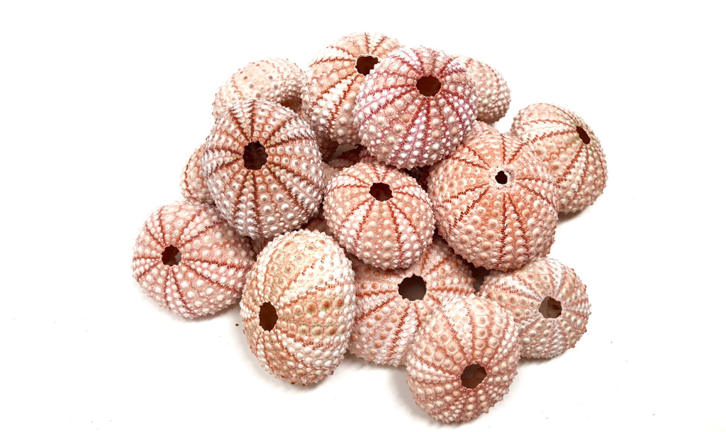"Bulk Lot of 50+ Sea Urchin Shells (1.5"" - 2"") $1.20 Per Shell - Air Plant Hub"