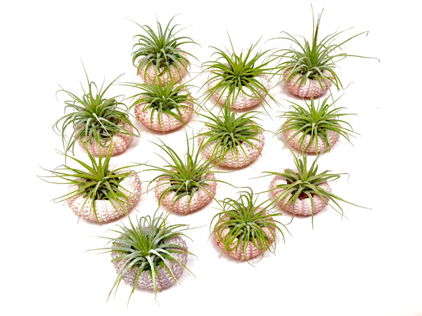 Sea Urchin/Air Plant Combos <br> (As Low As $1.25 each!) <br> -INCLUDES SHIPPING!- - Air Plant Hub
