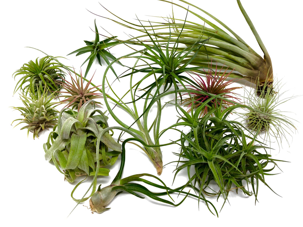 $30 Greenhouse Mix <br> (15 Small/Med Plants) - Air Plant Hub