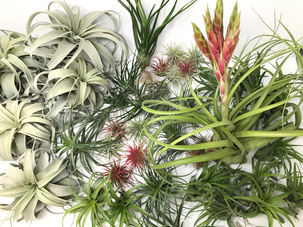 $100 Greenhouse Mix <br> (35 Small/Med/Lg/XL Plants) <br> INCLUDES XEROGRAPHICA - Air Plant Hub