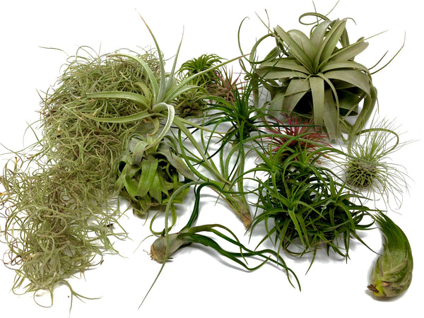 $50 Greenhouse Mix <br> -Includes Xerographica-