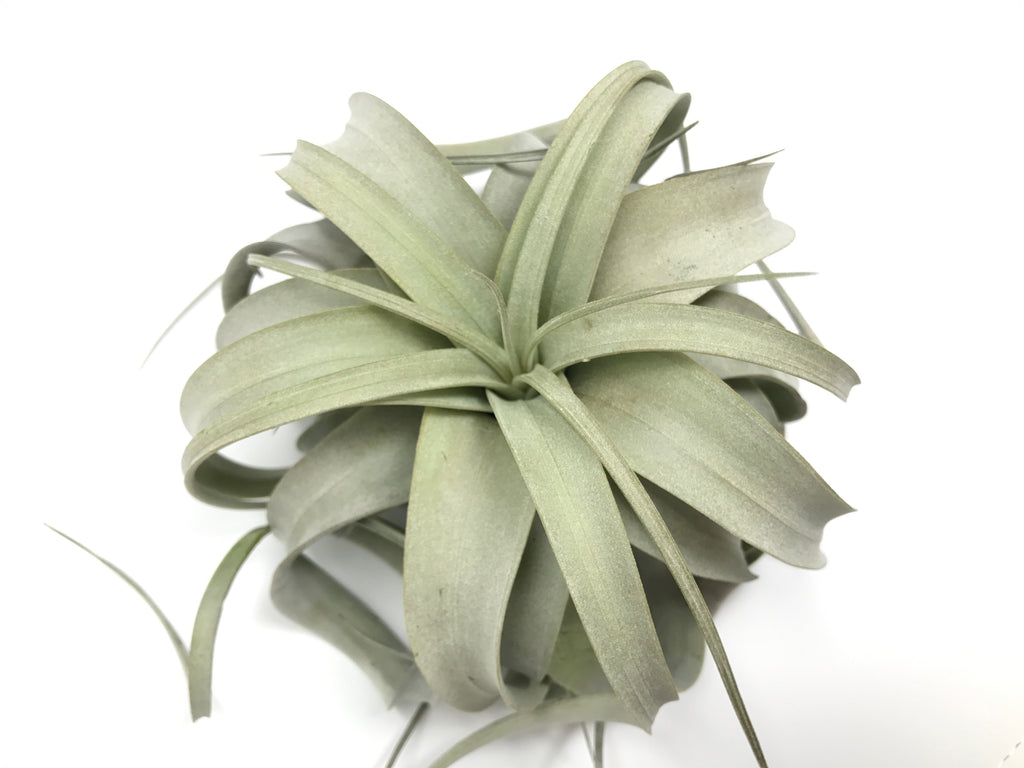 Wholesale Xerographica Medium (Minimum order 5) - Air Plant Hub